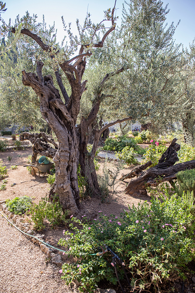 The ancient olive trees at the Garden of Gethsemane