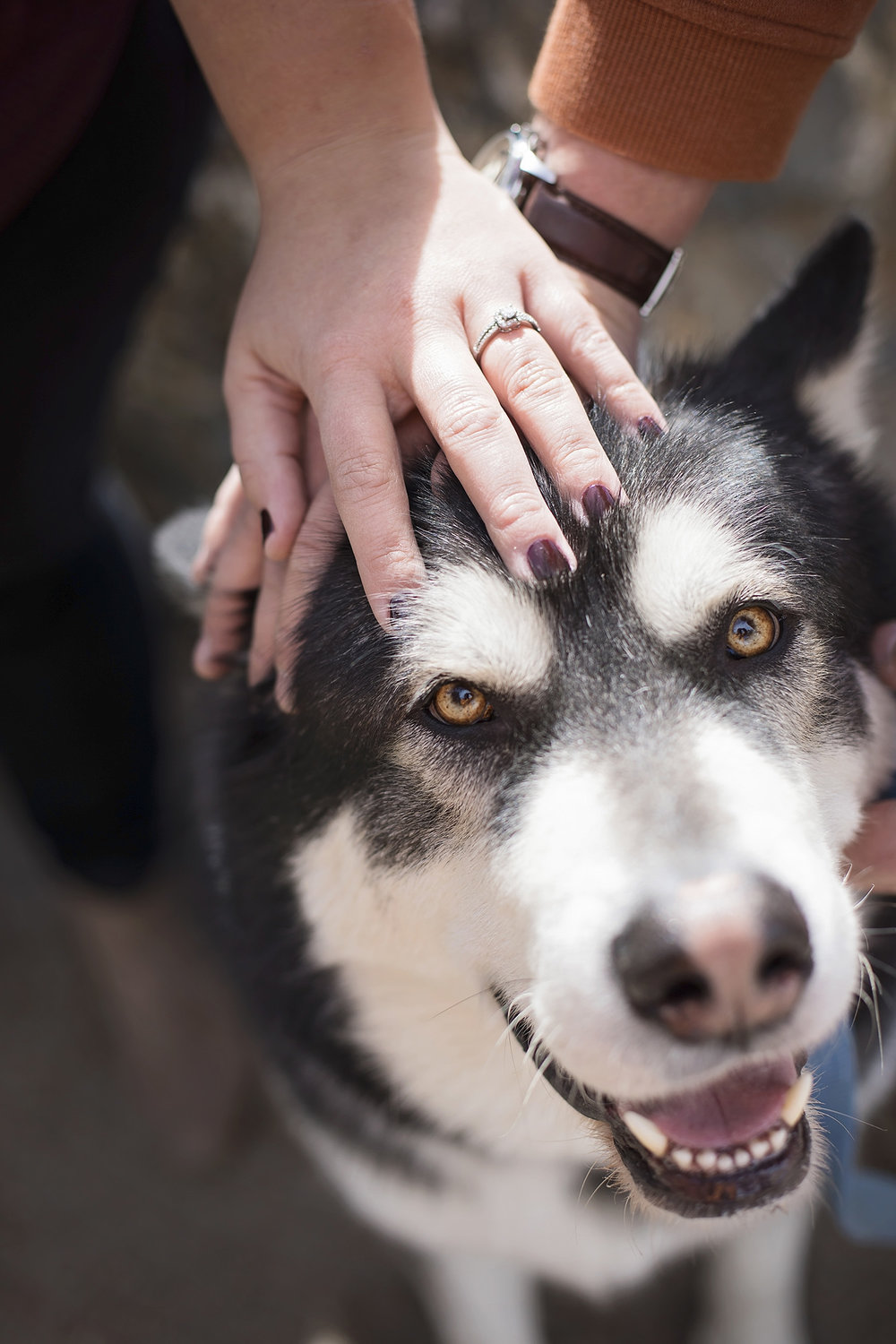 Engagement ring and couple's hands resting on their husky's head