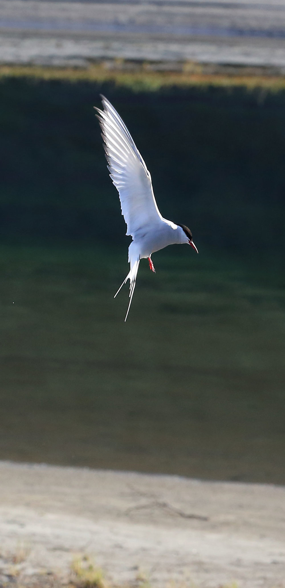 Arctic tern hovering.