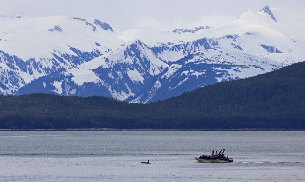 A killer whale with whale watching boat in tow. The mountains behind are part of the Chilkat Range.