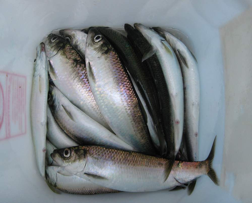 Herring in a bucket.