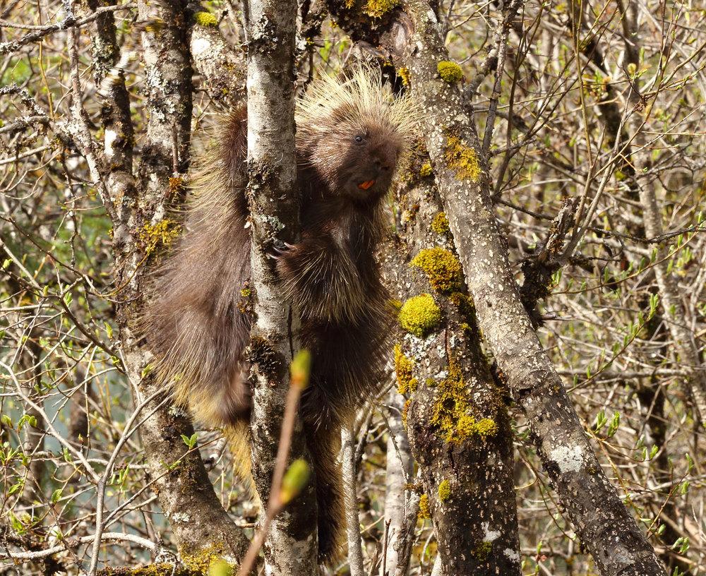 Porcupine in Southeast Alaska