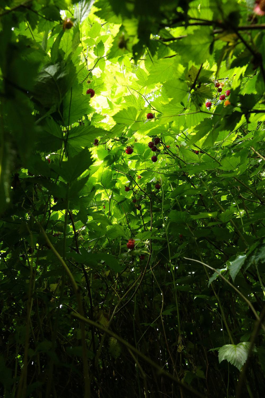 Salmonberries Southeast Alaska