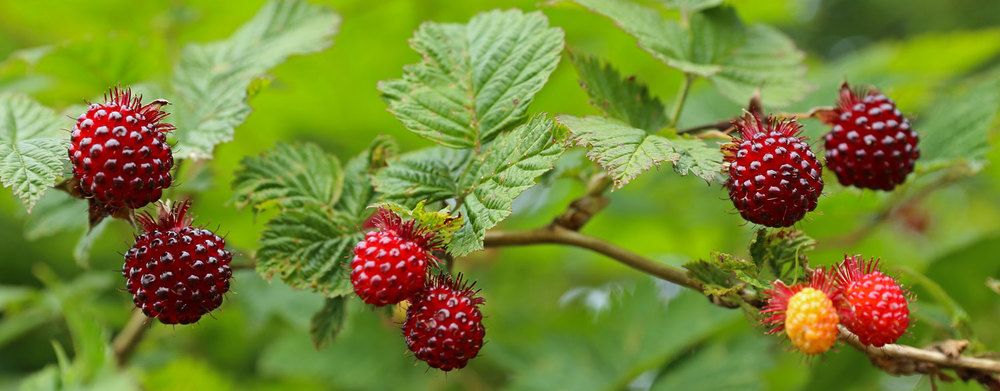 Salmonberries – Eat | Drink | Breathe