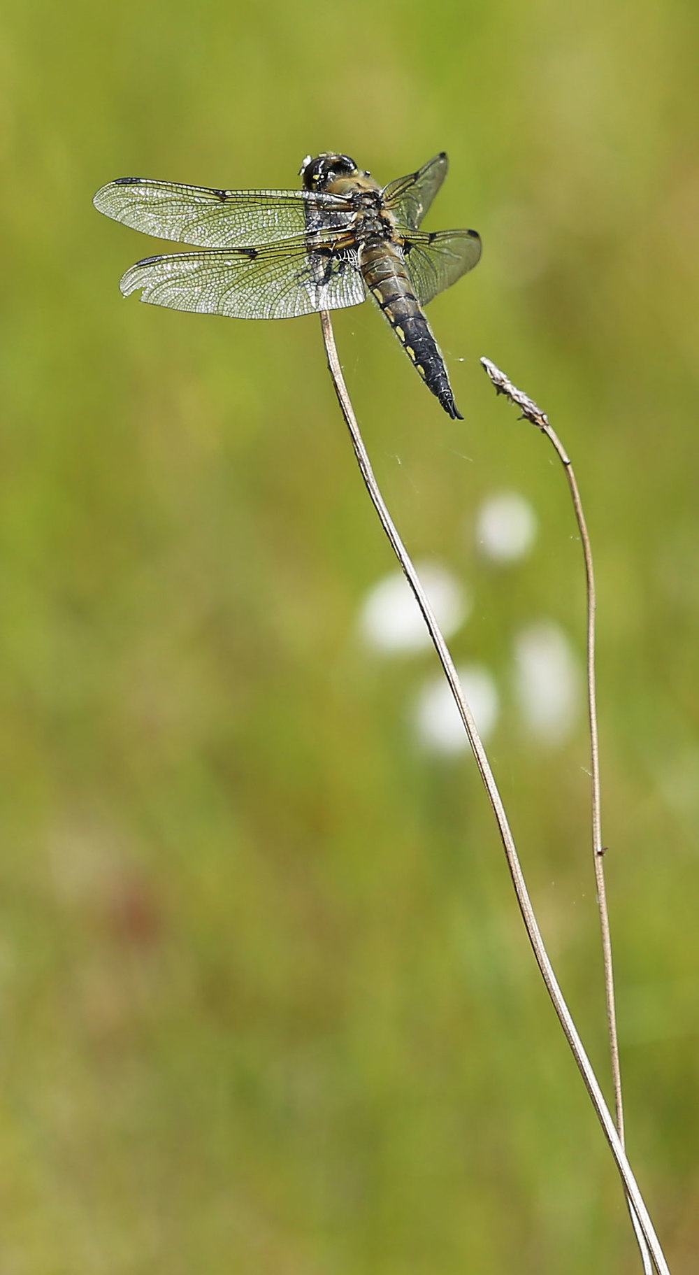 Four-spotted skimmer on an old grass stalk.