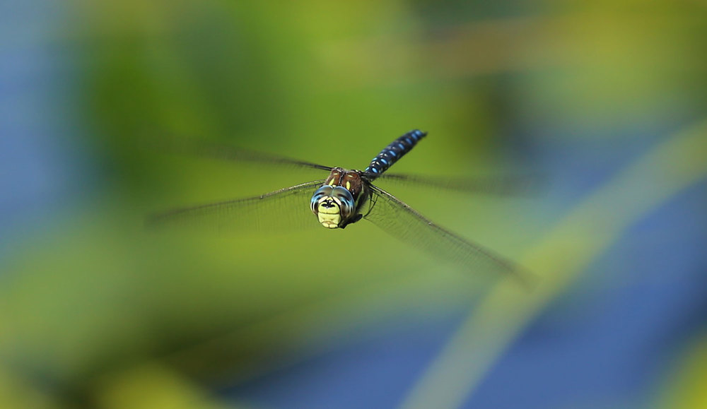 Paddle-tailed darner dragonfly ( Aeshna palmata ) in flight.