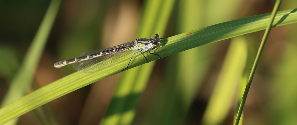 Damselfly female perched on grass Southeast Alaska