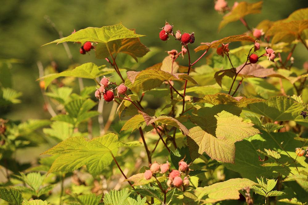Thimbleberries ( Rubus parviflorus )