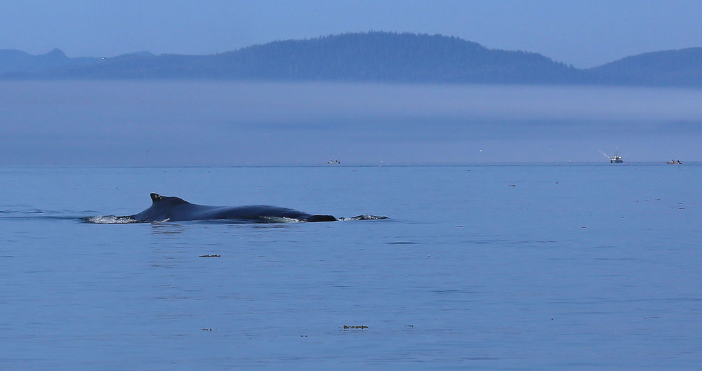 Whale_humpback_Point_Baker_0633.jpg