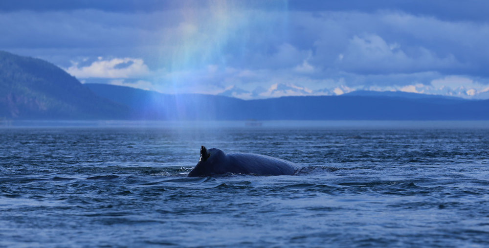 Humpback whale blowing a rainbow.