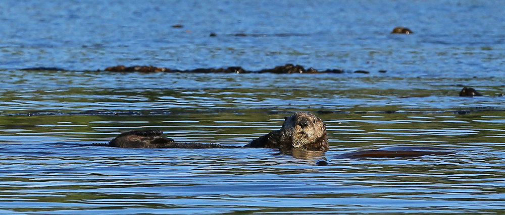 Sea_otter_Point_Baker_0586.jpg