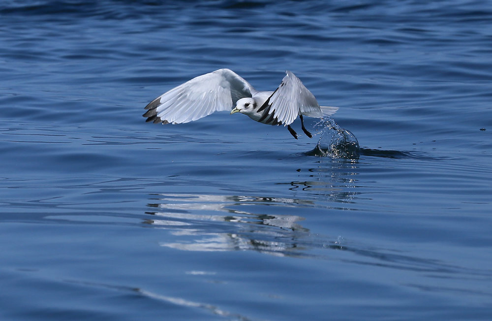 Black-legged kittiwake on takeoff.