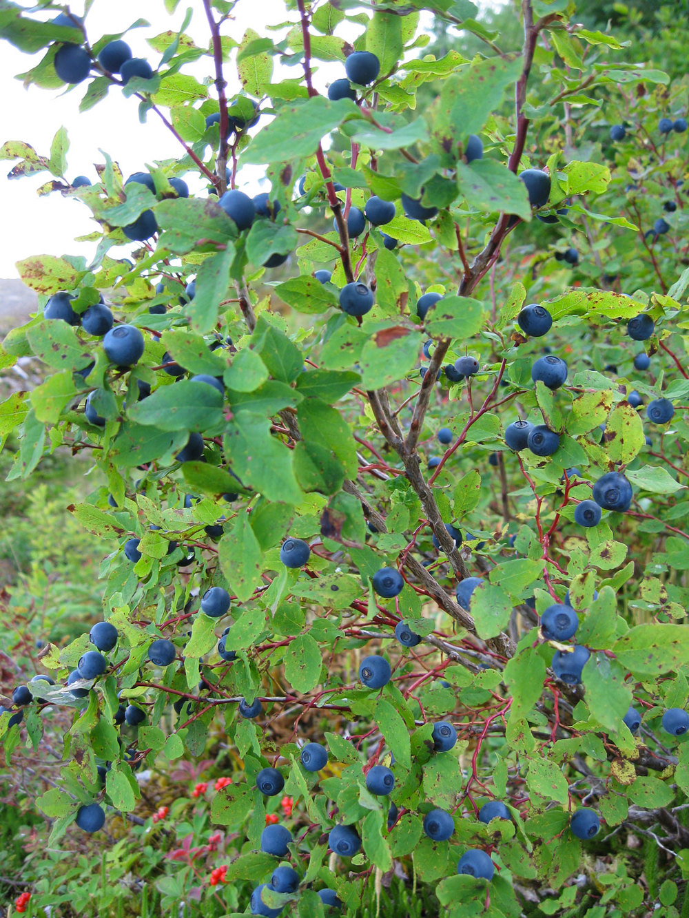 Blueberries Southeast Alaska