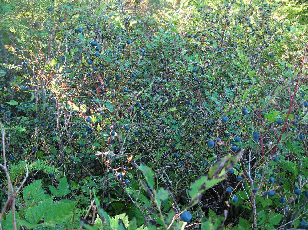 Blueberries blueberry patch Southeast Alaska