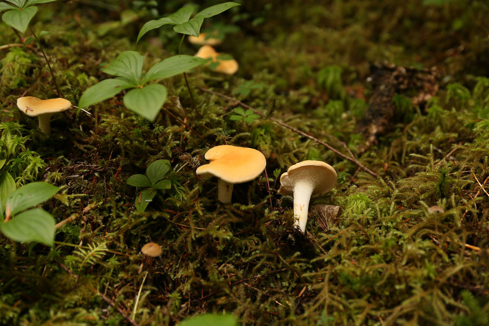 Hedgehog edible mushroom Southeast Alaska