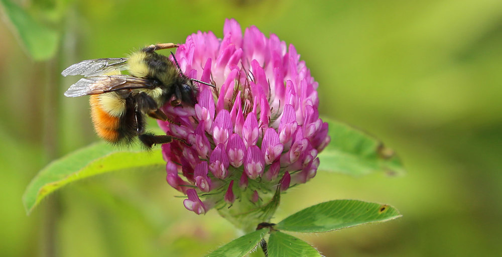 A bumblebee working red clover.