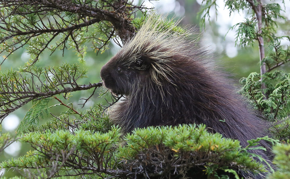 Porcupine in a tree.