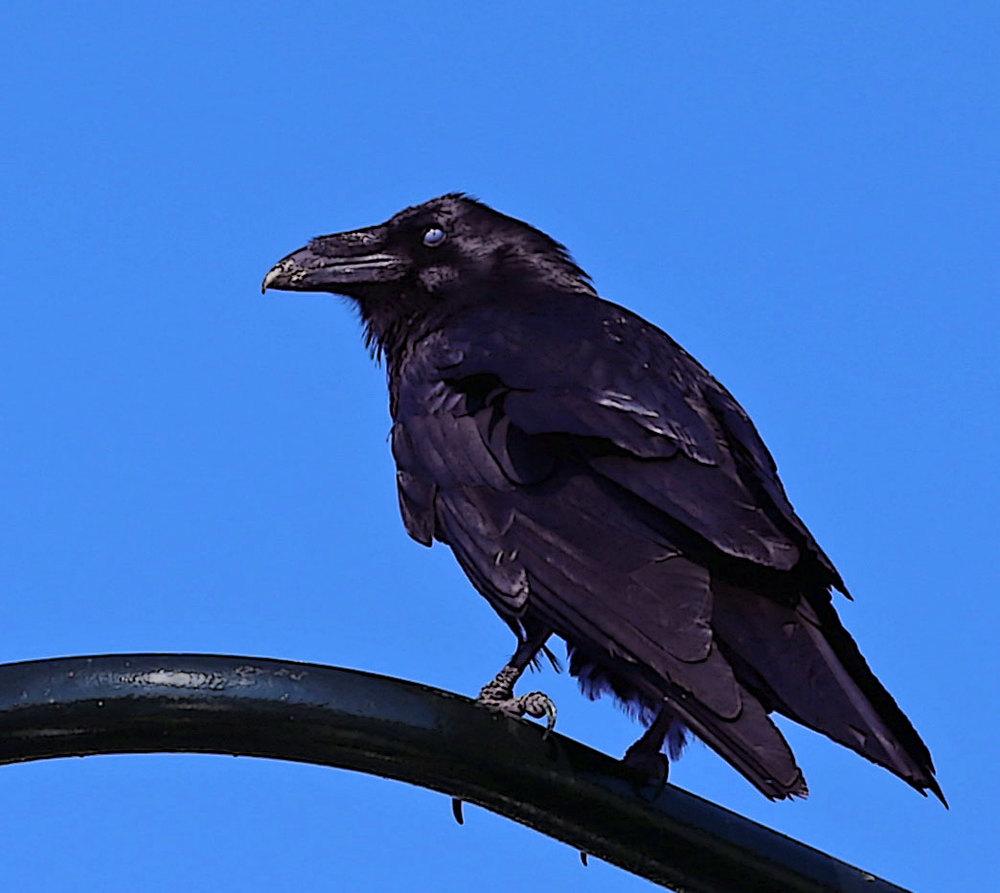Raven_0062.jpg