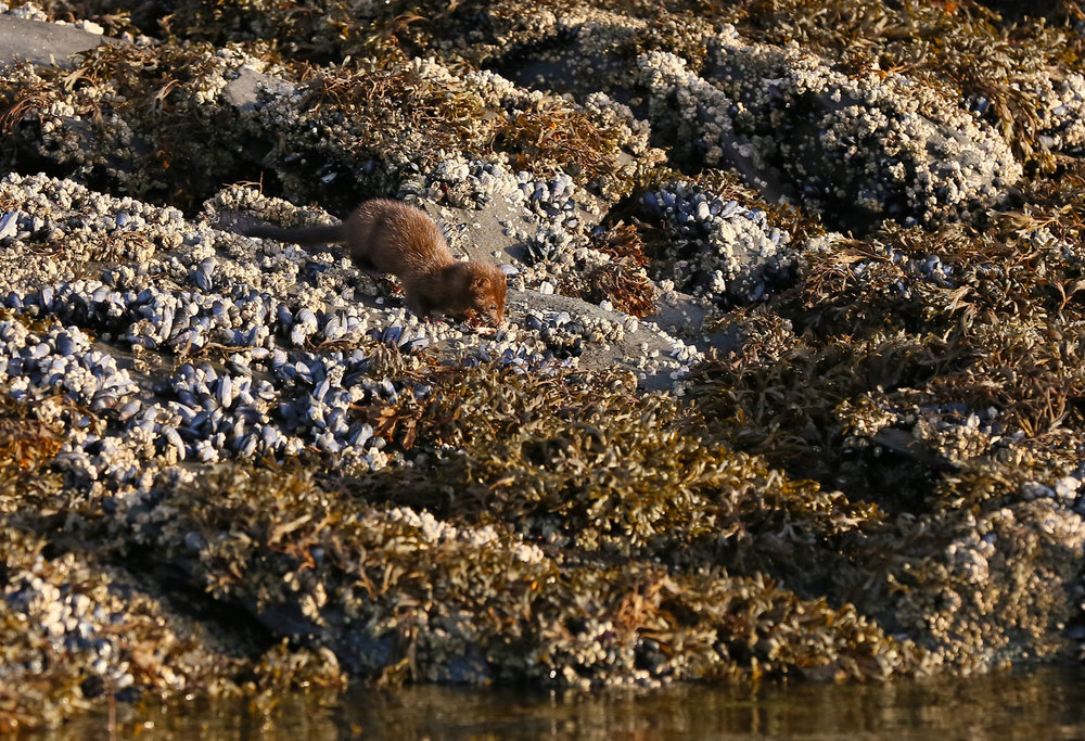 Mink on the beach in Southeast Alaska