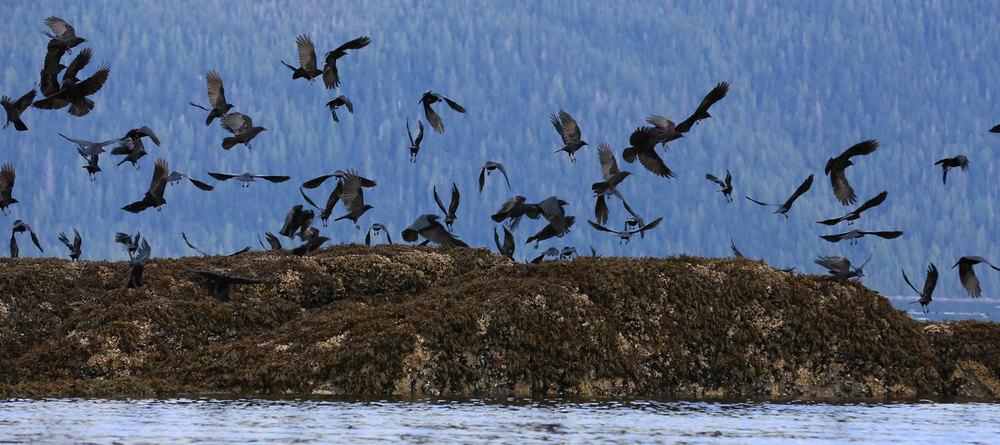 Crows_1812.jpg