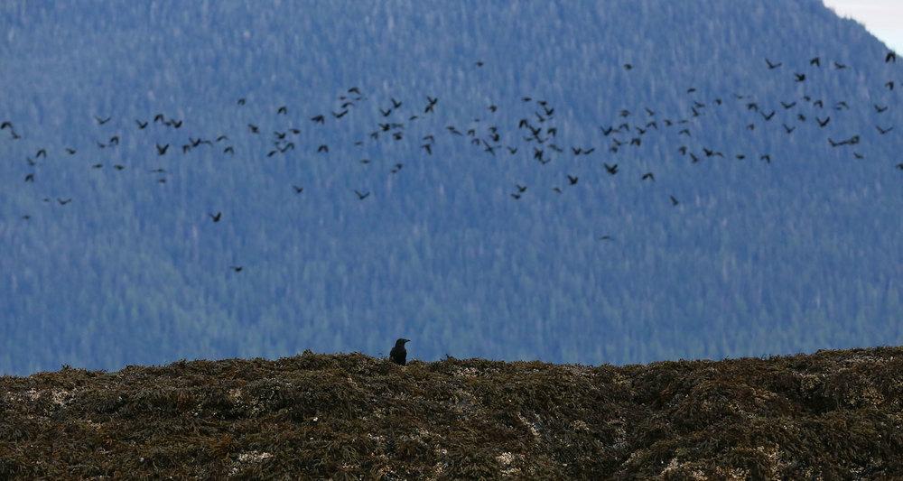 Crows_1815.jpg
