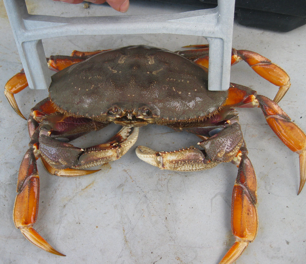 Measuring with the crab caliper