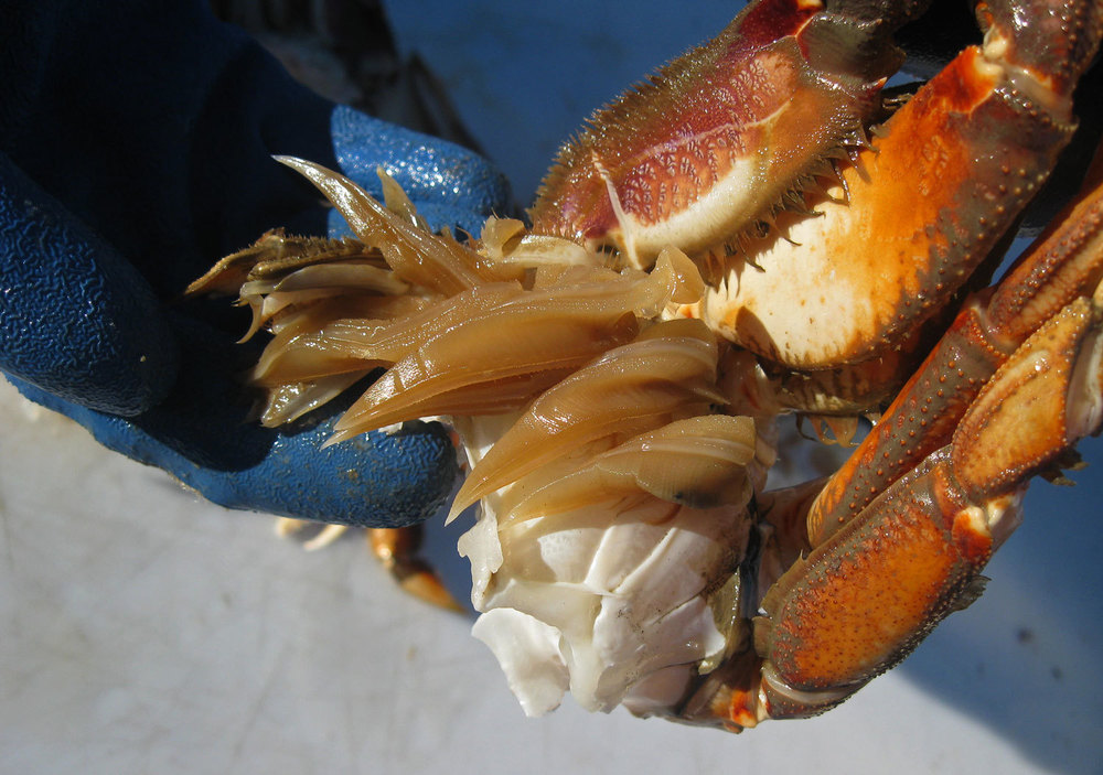 The Dungeness crab gills need to be removed.