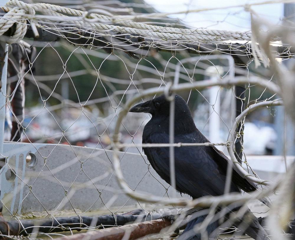 Crow_in_crabpot_1849.jpg