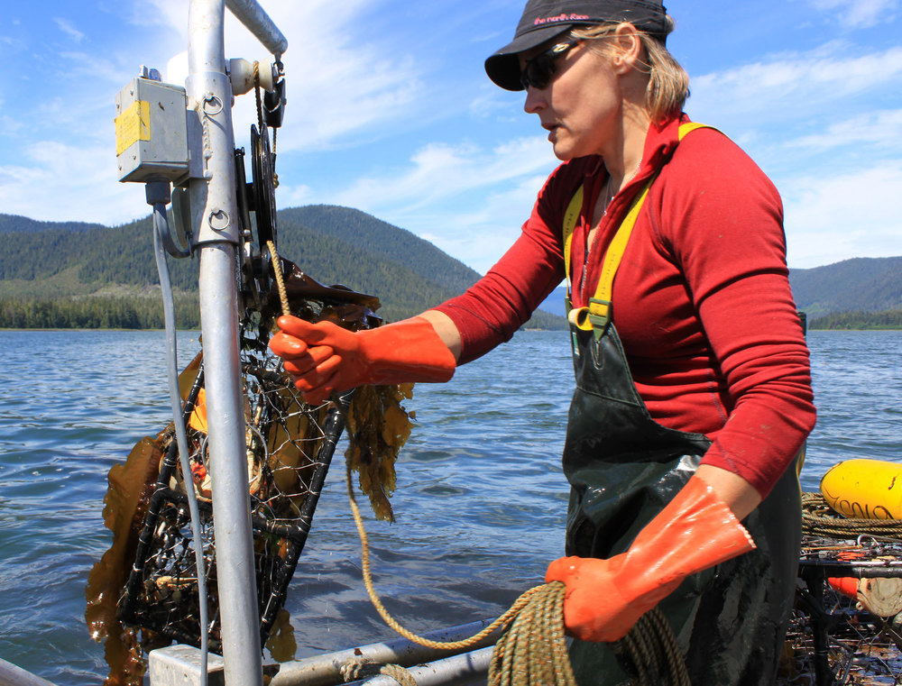 Dungeness crab pot coming up with lots of kelp and some crab. Cindy coils the line carefully so that the pot will reset without tangles.