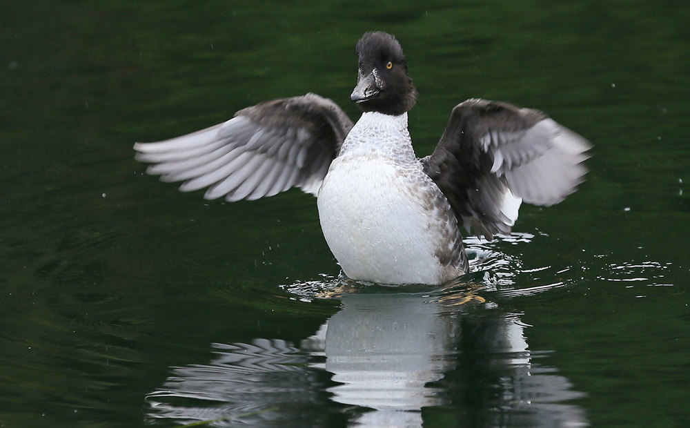 Female Goldeneye duck Southeast Alaska