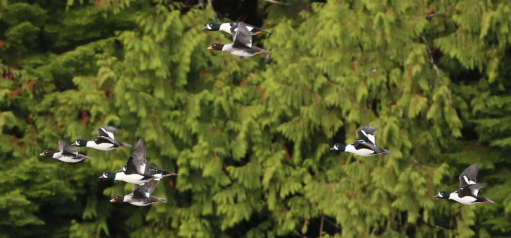 Ducks Barrow's Goldeneye in flight Southeast Alaska