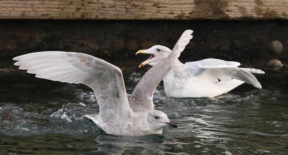 Seagull gull squabbling Southeast Alaska