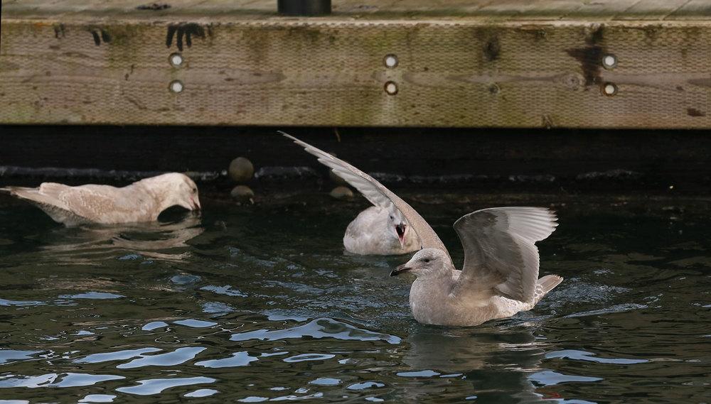 Seagull gull yelling vocallizing Southeast Alaska