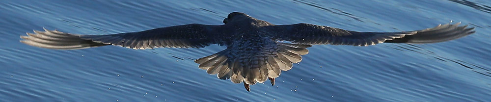 Seagull gull takeoff rear view Southeast Alaska