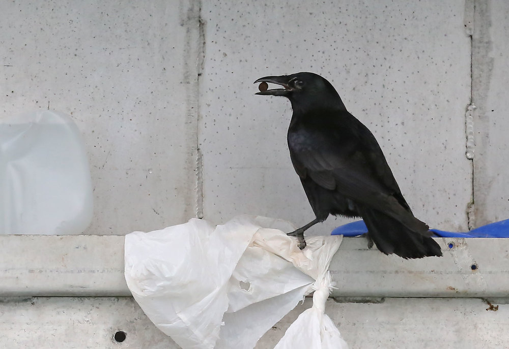 Corvids_eating_dogfood_on_boat_8493.jpg