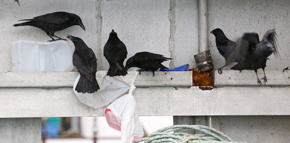 Corvids_eating_dogfood_on_boat_8487.jpg