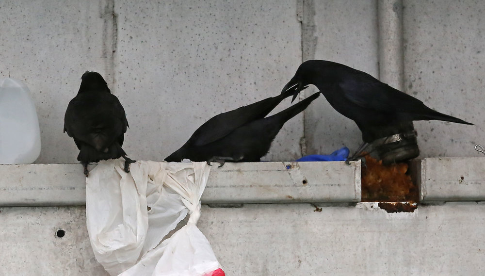 Corvids_eating_dogfood_on_boat_8530.jpg