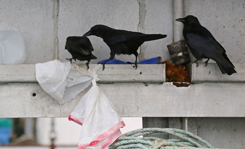 Corvids_eating_dog_food_on_boat_8494.jpg