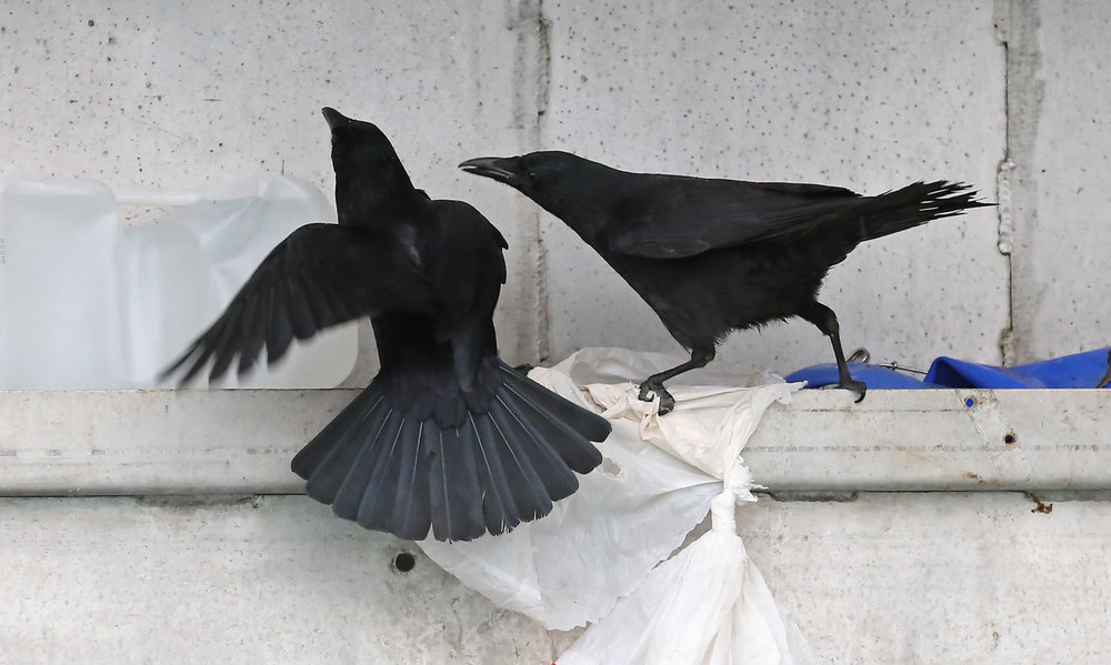 Corvids_stealing_dog_food_on_boat_8478.jpg