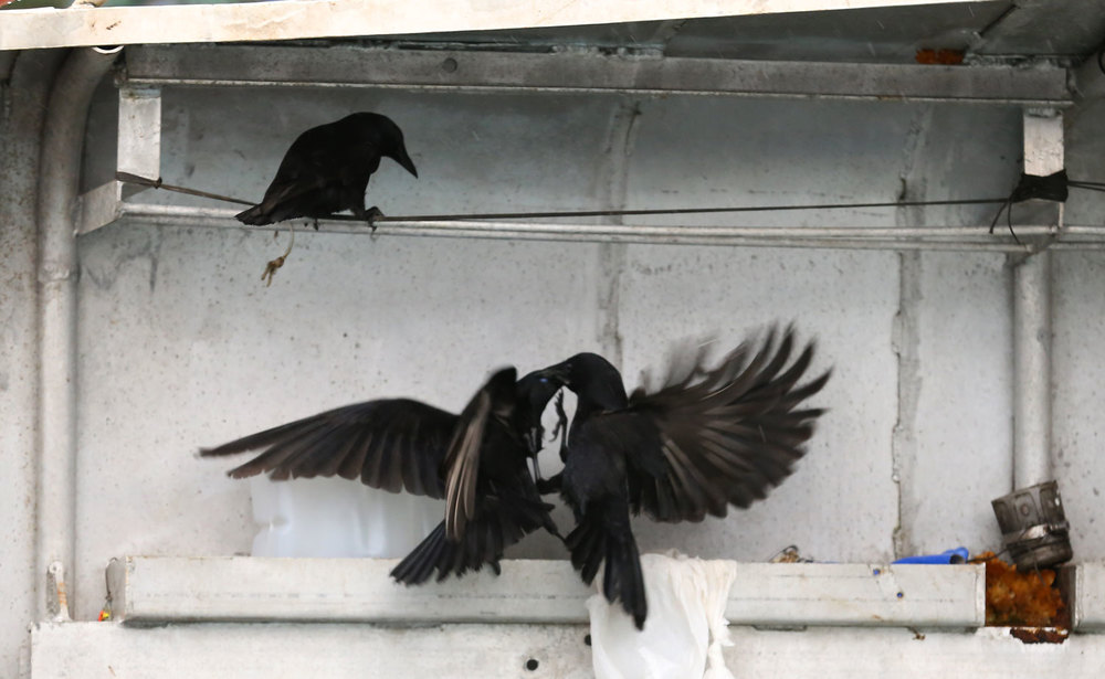 Corvids_eating_dogfood_on_boat_fighting_8536.jpg