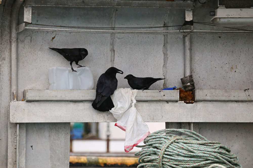 Corvids_eating_dogfood_on_boat_8531.jpg