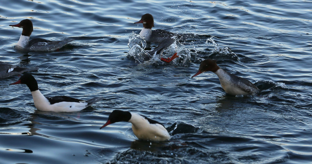 Mergansers lunge up and forward, arcing into a dive. The hunt for fish to eat is often a team effort.
