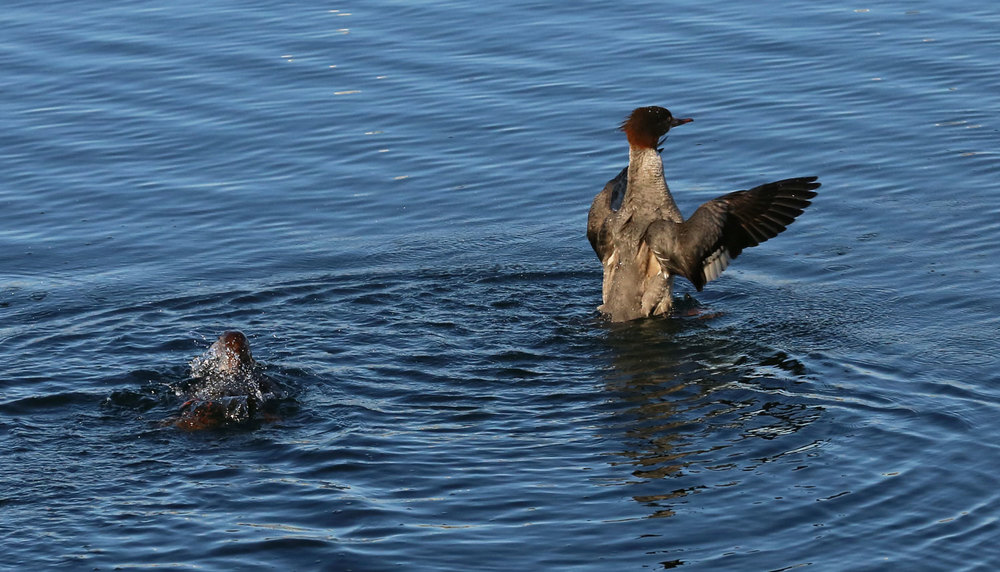 Mergansers surfacing and shaking out their wings.