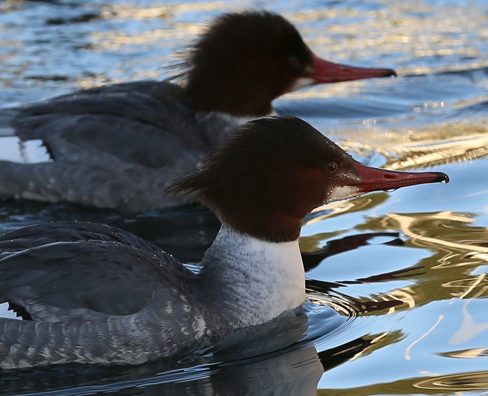 Merganser female closeup Southeast Alaska