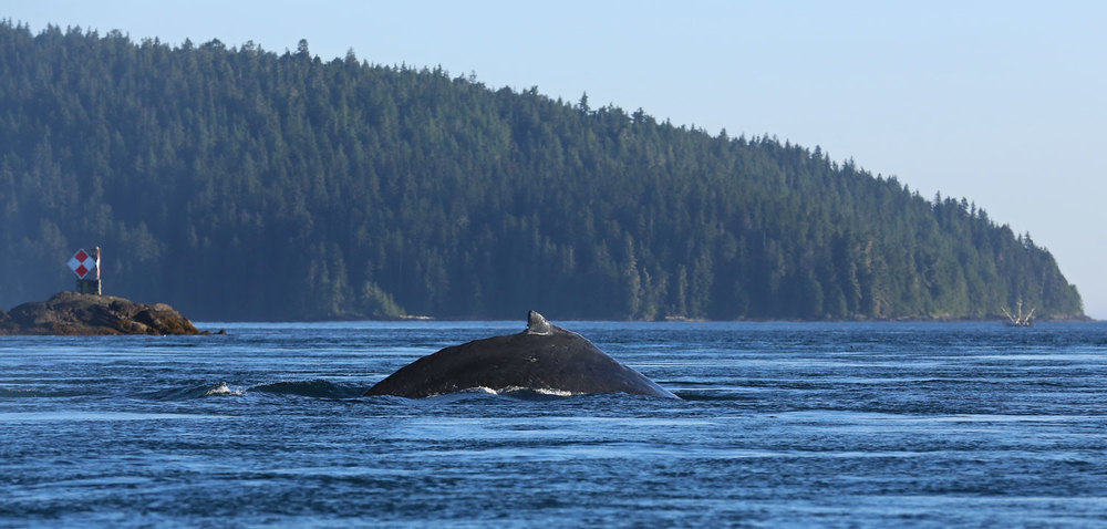 Humpback whale Point Baker Alaska