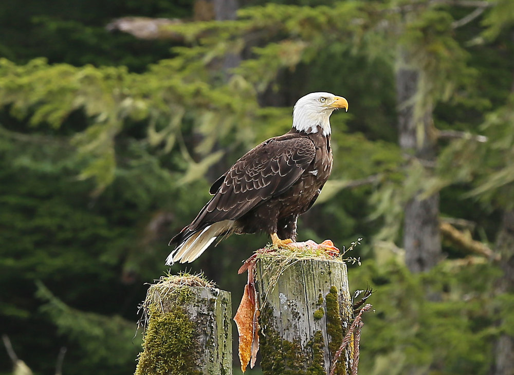 Bald eagle in Point Baker