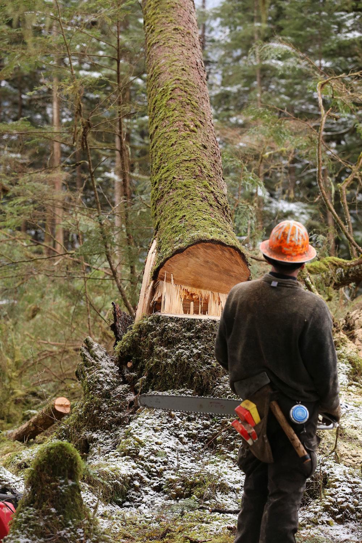 Logger logging faller tree falling Southeast Alaska