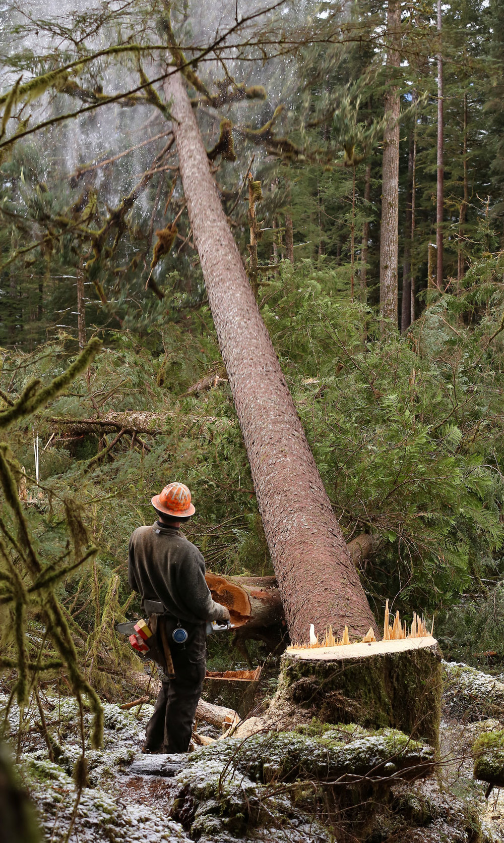 Logging big tree falling cutter stump Southeast Alaska