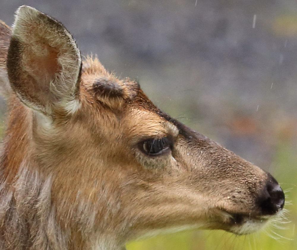 Boy Deer