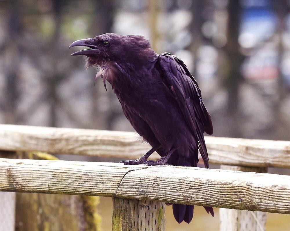 Halloween Ravens